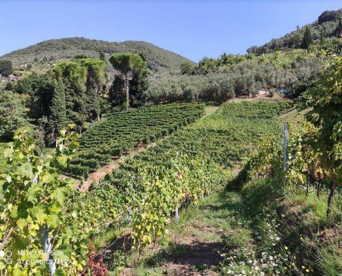 Collina delle Vigne del Grillo a Camaiore